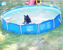 Family spots a bear in their pool but look who else is there as the camera pans out