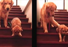 Golden Retriever Instructs Puppy On How To Get Down The Stairs