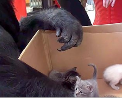 Gorilla receives a box of kittens for her birthday, instantly falls in love with them