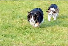 Owner Sees Collies Walking Funny, But When He Sees Their Next Move, He Bursts Out Laughing!