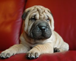 20 Things All Shar Pei Owners Must Never Forget. The Last One Brought Me To Tears…