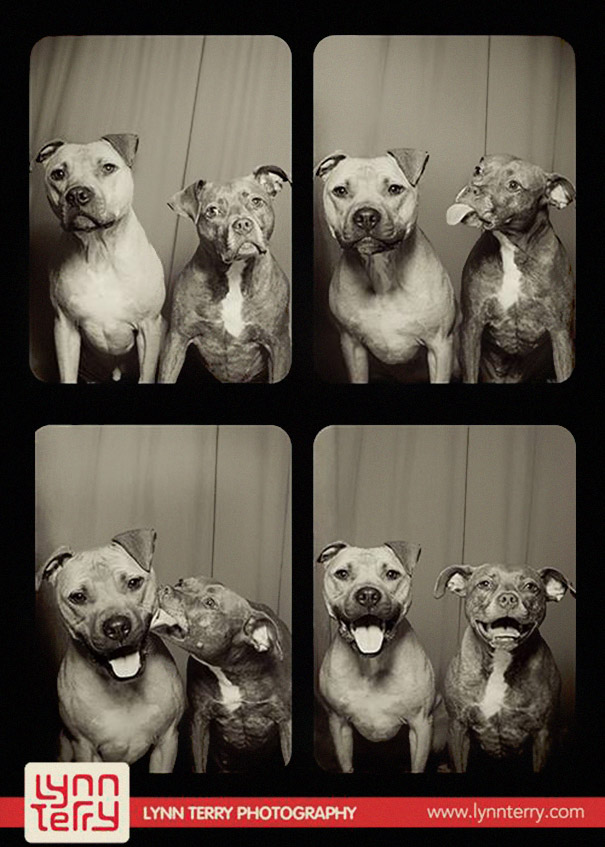 pit-bulls-photo-booth-cute-dogs-1