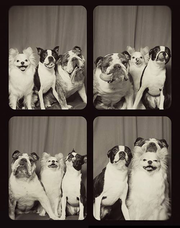 pit-bulls-photo-booth-cute-dogs-3