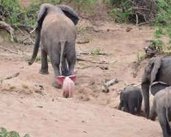 It Seemed Like An Ordinary Elephant Herd, Until A Photographer Saw A Rare Baby Behind Mom