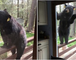 Bear Wants The Brownies That Woman Is Baking And Comes Knocking At Her Door