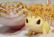 This Gecko Can't Stop Smiling When He's Around His Toy Gecko, And Their Pics Will Make Your Day