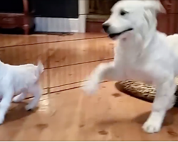 Golden Retriever puppy completely LOSES IT when he meets a baby goat