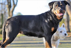 Tiny Terrier Got A Rottweiler Pregnant And Their Puppies Are Adorable