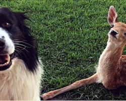Rescued Baby Deer Is Missing A Leg, Now Watch What These Dogs Do…Oh My Goodness!