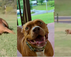 There's nothing better than this pit's reaction to arriving at his forever home