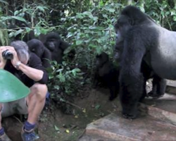 Terrified tourist gets surrounded by family of wild gorillas…what they do next shocks everyone