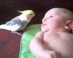Sweet Cockatiel Sings Sweet Lullaby To 2-Week-Old Baby