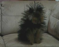 Cute Yorkie Dog Under Blanket Transformed By Static Electricity