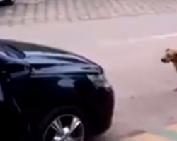 Dog approaches car that is blasting loud music. He immediately busts out his smooth dance moves