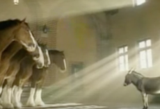 Little donkey stands before the Clydesdales, and what follows will have you in stitches