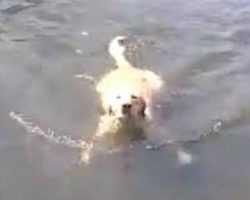 Forget The Doggy Paddle, This Labrador Retriever Loves To Swim The Breaststroke
