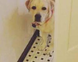 Labrador Retriever Adorably Stalks Owner