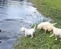 Labrador Retriever Father Teaches His Puppies To Swim