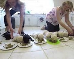 10 Weaning Labrador Puppies Enjoy Solid Food For The First Time