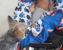 Loving Yorkshire Terrier Tucks Baby Into Pram