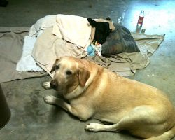 Labrador Retriever Refuses To Leave Side Of Baby Calf He Rescued