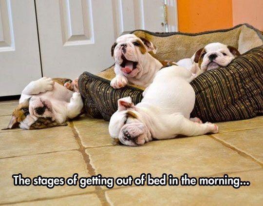 English bulldogs puppies bed meme