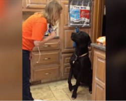 Guilty Labrador offers up an adorable apology for the mess he made