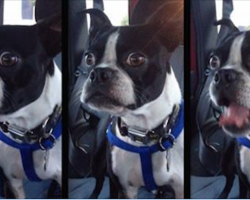 Boston Terrier Lets Out Hilariously Unusual Bark Every Time He Spots A Dog