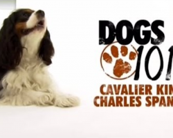 Dogs 101- Cavalier King Charles Spaniel