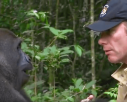 5 Years After Raising Gorilla Their Eyes Meet In The Wild — Ignoring All Warnings, He Walks Too Close