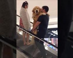 Adorable Golden Retriever Gets Carried Up Escalator