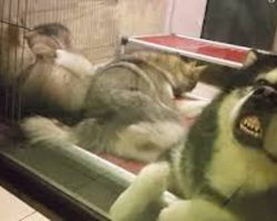 Alaskan Malamute Dad Needs a Break From His Rambunctious Puppies