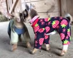 Baby Goats In Pajamas Enjoy Playtime In The Barn