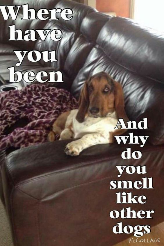 basset hound cool meme