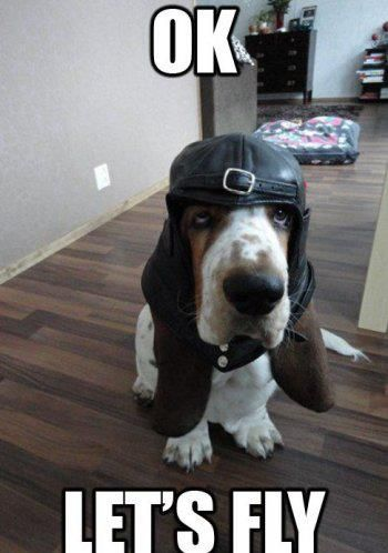 basset hound fly meme