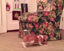 Basset Hound pup's chasing his unlikely friend around the chair when it pops out like this