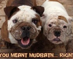 14 Best English Bulldog Memes of All Time