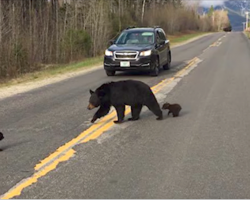 Baby bear can't keep up with family crossing the road, so a cop saves the day