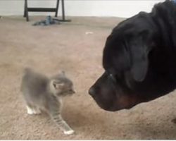 Two Rescued Kittens Meet A Big Rottweiler For The First Time. What Happens? The Best Thing Ever.