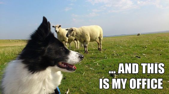 border collie office meme