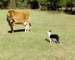 Boston Terrier comes face to face with a cow, hilarity ensues