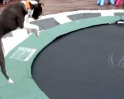 Boston Terrier Jumps Onto The Trampoline. His Reaction Has The Whole Family Bursting Out Laughing!