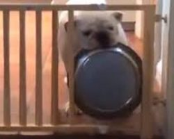Bulldog Tries To Figure Out How To Get His Dinner Bowl Through Gate