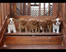 Cavalier King Charles Spaniel puppies trying the stairs… Cuteness overload.