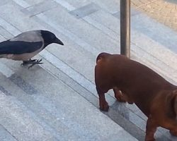 While this pup was waiting for it's owner, this crow decided it was in it's turf and began to raise hell on the dog