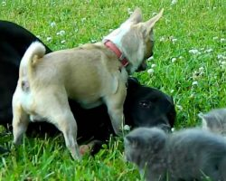 Chihuahua Steps Up To Keep Kittens Safe When Puppy Wants To Play