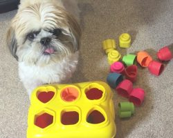 Incredibly Smart Shih Tzu Can Solve Difficult Puzzles