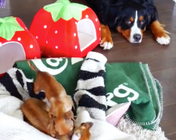 Bernese Mountain Dog Wants You To Know He's Completely Over The Crazy Chihuahuas
