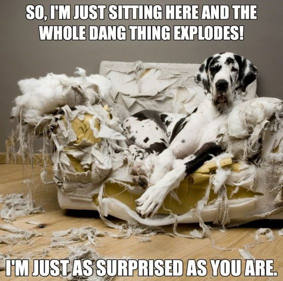 cute great dane pics dog couch mess
