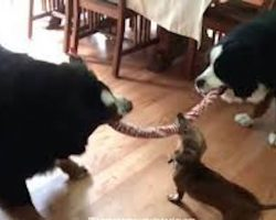 Tiny Dachshund joins a big-dog game of Tug-of-War to prove that size doesn't matter
